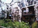 桜と共に…