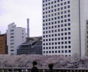 一番好きな桜の景色