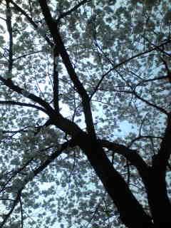 大きな桜の木の下